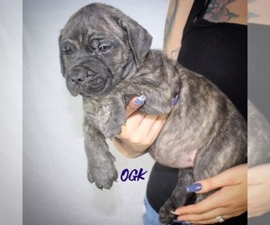 Cane Corso Puppy for Sale in BAKERSFIELD, California USA