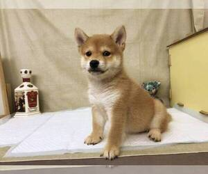 Shiba Inu Puppy for Sale in SEATTLE, Washington USA