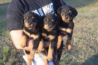 Rottweiler Puppy For Sale in WEST CHICAGO, IL