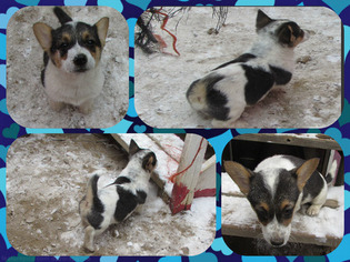 Australian Cattle Dog-Pembroke Welsh Corgi Mix Puppy For Sale in ORCHARD, CO
