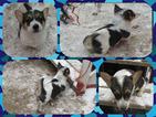 Australian Cattle Dog-Pembroke Welsh Corgi Mix Puppy For Sale in ORCHARD, CO