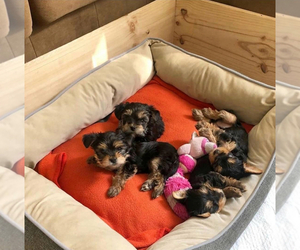 Yorkshire Terrier Puppy for sale in MACOMB, MI, USA