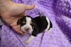 Puppy 3 Beagle