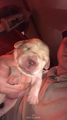 Labrador Retriever Puppy for sale in CLIO, MI, USA