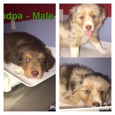 Border-Aussie Puppy For Sale in LAND O LAKES, FL