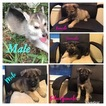 Wolf Hybrid Puppy For Sale in WEATHERFORD, Texas,