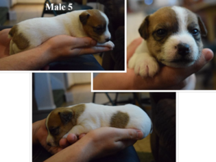Jack Russell Terrier Puppy For Sale in REDDING, CA