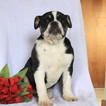 Olde English Bulldogge Puppy For Sale in GAP, PA, USA