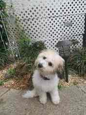 Havachon Puppy For Sale in RALEIGH, NC, USA