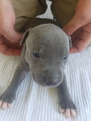 American Pit Bull Terrier Puppy For Sale in HUBERT, NC, USA