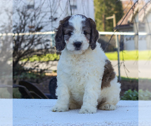 Medium English Springer Spaniel-Poodle (Miniature) Mix