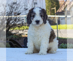 Small English Springer Spaniel-Poodle (Miniature) Mix
