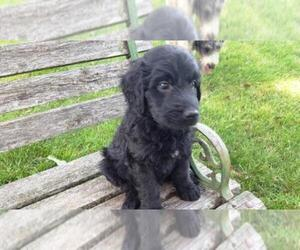 Goldendoodle Puppy for sale in LEON, KS, USA