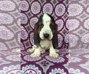 Basset Hound Dog for Adoption in LANCASTER, Pennsylvania USA