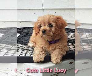 Cavapoo Puppy for sale in ELKHART, IN, USA