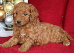 Goldendoodle Puppy For Sale in MOUNT JOY, PA,