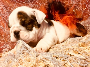 Bulldog Puppy For Sale in FORT WORTH, TX, USA