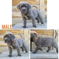 Cane Corso Puppy For Sale in OLNEY SPRINGS, CO, USA