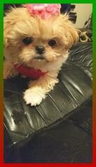 Jatzu Puppy for Sale in HOLLY, Michigan USA