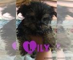 Puppy 0 Morkie-Yorkshire Terrier Mix