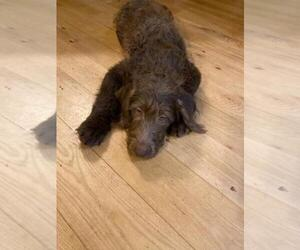 Labradoodle Puppy for sale in FINLAYSON, MN, USA