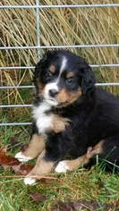 Bernese Mountain Dog Puppy for sale in VANDALIA, OH, USA