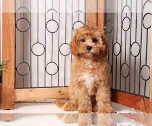 Cavapoo Dog for Adoption in NAPLES, Florida USA