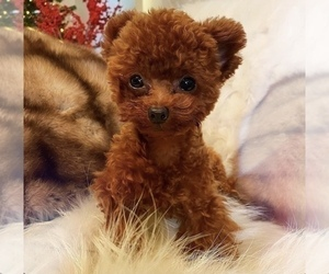 Father of the Poodle (Toy) puppies born on 11/18/2020