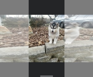 Pomsky Puppy for sale in CARY, NC, USA