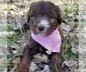 Bordoodle Puppy for sale in FAIR OAKS, CA, USA