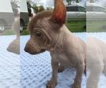 Small #4 Xoloitzcuintli (Mexican Hairless)