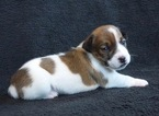 Jack Russell Terrier Puppy For Sale in WASILLA, AK, USA