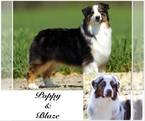 Father of the Australian Shepherd puppies born on 04/23/2021