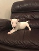 Bull Terrier Puppy for sale Male and Female