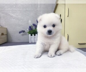 Japanese Spitz Puppy for Sale in SAN FRANCISCO, California USA