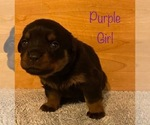 Small Photo #2 Rottweiler Puppy For Sale in NAPA, CA, USA