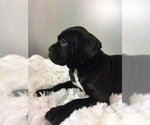 Boxer Puppy For Sale in BECKS MILLS, OH, USA