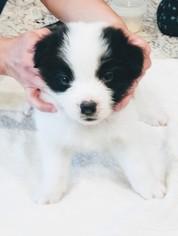 Border Collie Puppy For Sale in SEALE, AL, USA