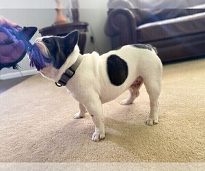 French Bulldog Puppy for sale in HAGERSTOWN, MD, USA