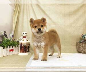 Shiba Inu Dog for Adoption in SANTA MONICA, California USA