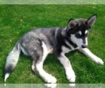 Alaskan Malamute Black and White Male Puppy