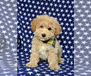 Cantel Puppy for sale in LINCOLN UNIV, PA, USA