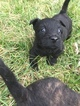 Scottish Terrier Puppy For Sale in GREENFIELD, IN
