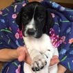 German Shorthaired Pointer Puppy For Sale in YACOLT, WA