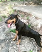 Doberman Pinscher Puppy For Sale in ROUND ROCK, TX
