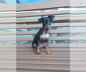 Miniature Pinscher Puppy for sale in HAMBURG, PA, USA
