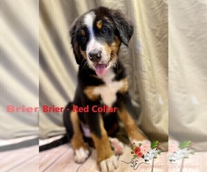 Bernese Mountain Dog Puppy for Sale in CLINTON, Missouri USA