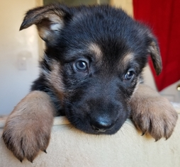 Purebred German Shepherd puppy ready for Xmas