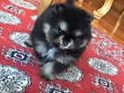 Pomeranian Puppy For Sale in ARNOLD, MD,