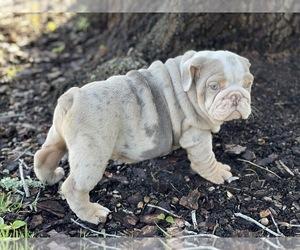 English Bulldog Puppy for sale in OCOEE, FL, USA